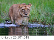 Купить «African lion (Panthera leo) lioness entering water, Okavango Delta, Botswana, January», фото № 25301518, снято 22 января 2019 г. (c) Nature Picture Library / Фотобанк Лори