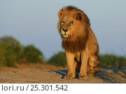 Купить «African lion (Panthera leo) male, portrait, Okavango Delta, Botswana, July», фото № 25301542, снято 25 апреля 2019 г. (c) Nature Picture Library / Фотобанк Лори
