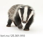 Купить «Portrait of a young Badger (Meles meles).», фото № 25301910, снято 20 марта 2019 г. (c) Nature Picture Library / Фотобанк Лори