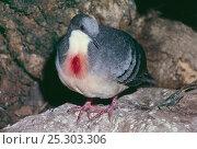 Купить «Luzon bleeding-heart dove (Gallicolumba luzonica) Captive, occurs Luzon, Philippines», фото № 25303306, снято 22 февраля 2019 г. (c) Nature Picture Library / Фотобанк Лори