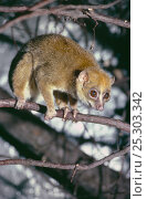 Купить «Calabar Angwantibo / Potoo (Arctocebus calabarensis). Captive, occurs Cameroon, Nigeria, Equatorial Guinea», фото № 25303342, снято 19 октября 2019 г. (c) Nature Picture Library / Фотобанк Лори