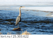 Купить «Great Blue Heron (Ardea herodias) standing on a rock in water. St-Laurent river, Quebec, Canada, February.», фото № 25303622, снято 23 марта 2019 г. (c) Nature Picture Library / Фотобанк Лори