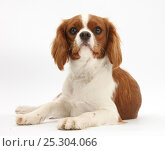 Купить «Cavalier King Charles Spaniel bitch, 1 year.», фото № 25304066, снято 5 декабря 2019 г. (c) Nature Picture Library / Фотобанк Лори