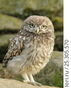 Купить «Portrait of a juvenile Little Owl (Athene noctua). Wales, UK, June.», фото № 25305570, снято 20 августа 2019 г. (c) Nature Picture Library / Фотобанк Лори