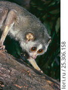 Купить «Slender Loris (Loris tardigradus) Captive, occurs Southern India and Sri Lanka, Endangered.», фото № 25306158, снято 20 августа 2019 г. (c) Nature Picture Library / Фотобанк Лори