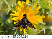 Купить «Bee Fly (Hemipenthes velutina) feeding from Spiny Sow Thistle (Sonchus asper) flower. Zadar province, Croatia, July.», фото № 25306210, снято 23 мая 2018 г. (c) Nature Picture Library / Фотобанк Лори