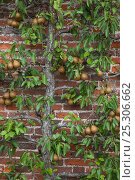Купить «Conference Pear tree (Pyrus communis) growing against wall in garden, UK», фото № 25306662, снято 21 февраля 2019 г. (c) Nature Picture Library / Фотобанк Лори