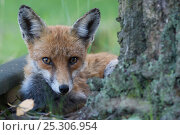 Купить «Red fox (Vulpes vulpes) young female in garden, Berlin, Germany, May 2006», фото № 25306954, снято 16 декабря 2018 г. (c) Nature Picture Library / Фотобанк Лори