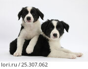 Купить «Black-and-white Border Collie puppies, 6 weeks.», фото № 25307062, снято 19 июля 2018 г. (c) Nature Picture Library / Фотобанк Лори
