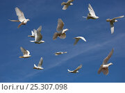 Купить «Flock of white Fantail pigeons (Columba sp) in flight, UK», фото № 25307098, снято 17 октября 2018 г. (c) Nature Picture Library / Фотобанк Лори