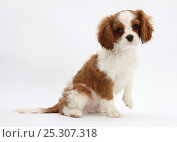 Купить «Blenheim Cavalier King Charles Spaniel puppy, 11 weeks.», фото № 25307318, снято 5 декабря 2019 г. (c) Nature Picture Library / Фотобанк Лори