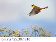 Купить «Yellowhammer (Emberiza citinella) male in flight, Norfolk, UK, May», фото № 25307810, снято 25 марта 2019 г. (c) Nature Picture Library / Фотобанк Лори