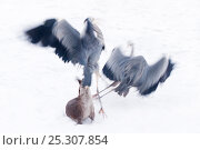 Купить «Two Blue Herons (Ardea herodias) take flight as a European Otter (Lutra lutra) tries to catch them. The Netherlands, January. Captive otter.», фото № 25307854, снято 19 сентября 2019 г. (c) Nature Picture Library / Фотобанк Лори
