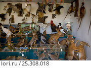 Купить «Taxidermy shop with great variety of stuffed animals for sale including Common hare (Lepus europaeus), Europe», фото № 25308018, снято 22 мая 2018 г. (c) Nature Picture Library / Фотобанк Лори