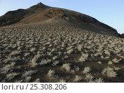 Купить «Scrub growing on steep volcanic hillside. Bartholomew Island, Galapagos, Ecuador, April 2010.», фото № 25308206, снято 5 апреля 2020 г. (c) Nature Picture Library / Фотобанк Лори