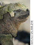 Купить «Marine Iguana (Amblyrhynchus cristatus) head in profile. Fernandina Island, Punta Espinosa, Galapagos, Ecuador.», фото № 25308214, снято 16 февраля 2019 г. (c) Nature Picture Library / Фотобанк Лори