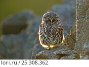 Little Owl (Athene noctua) perched on a stone wall. Wales, UK, July. Highly commended, Animal Portraits category, British Wildlife Photography Awards (BWPA) competition 2011. Стоковое фото, фотограф Andy Rouse / Nature Picture Library / Фотобанк Лори