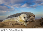 Купить «RF- Grey seal (Halichoerus grypus) pup and female on beach, Norfolk, UK, December.», фото № 25308642, снято 17 сентября 2018 г. (c) Nature Picture Library / Фотобанк Лори