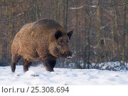 Купить «Wild Boar (Sus scrofa) male walking through snow. The Netherlands, January.», фото № 25308694, снято 26 марта 2019 г. (c) Nature Picture Library / Фотобанк Лори