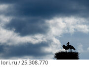 Купить «Breeding pair of White Stork (Ciconia ciconia) on nest. The Netherlands, April.», фото № 25308770, снято 20 мая 2019 г. (c) Nature Picture Library / Фотобанк Лори
