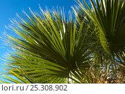 Купить «California Fan Palm (Washingtonia filifera) foliage. . Cottonwood Spring, Joshua's Tree National Monument, California, USA, September.», фото № 25308902, снято 20 января 2019 г. (c) Nature Picture Library / Фотобанк Лори