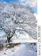 Купить «Tree coated in hoar frost by country lane near Eyam, Peak District National Park, Derbyshire, UK December 2009.», фото № 25309030, снято 22 февраля 2019 г. (c) Nature Picture Library / Фотобанк Лори