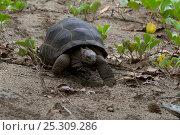Seychelles Giant Tortoise (Dipsochelys dussumieri) walking fast, Seychelles, captive, extinct in the wild. Стоковое фото, фотограф Stephen Dalton / Nature Picture Library / Фотобанк Лори