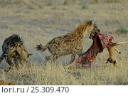 Купить «Spotted hyaena (Crocuta crocuta) one stealing carcass from another and running off with it, Okavango delta, Botswana, July», фото № 25309470, снято 20 июня 2019 г. (c) Nature Picture Library / Фотобанк Лори