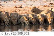 Купить «African lions (Panthera leo) drinking at waterhole in northern Botswana.  Taken on location for BBC Planet Earth series, 2005», фото № 25309762, снято 21 июля 2018 г. (c) Nature Picture Library / Фотобанк Лори