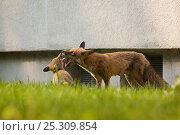 Купить «Red fox (Vulpes vulpes) vixen playing with cubs in garden of block of flats, Berlin, Germany. May 2006», фото № 25309854, снято 16 декабря 2018 г. (c) Nature Picture Library / Фотобанк Лори