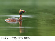Купить «Slavonian / horned grebe (Podiceps auritus) swimming on a loch. Scotland, June .», фото № 25309886, снято 16 августа 2018 г. (c) Nature Picture Library / Фотобанк Лори