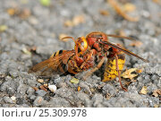 Купить «Hornet (Vespa crabro) holding Hornet hoverfly / Banded hoverfly (Volucella zonaria), a hornet mimic, which it has killed and decapitated on tarmac driveway...», фото № 25309978, снято 25 марта 2019 г. (c) Nature Picture Library / Фотобанк Лори