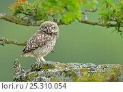 Young Little Owl (Athene noctua) perched on stone wall. Wales, UK, June. Стоковое фото, фотограф Andy Rouse / Nature Picture Library / Фотобанк Лори