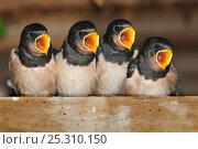 Купить «Fledgling Barn swallows (Hirundo rustica) calling for food in barn. Dorset, UK, August.», фото № 25310150, снято 21 октября 2018 г. (c) Nature Picture Library / Фотобанк Лори