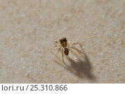 Jumping spider (Salticidae).  This specimen is about the size of a pin head. Seychelles, March. Стоковое фото, фотограф Stephen Dalton / Nature Picture Library / Фотобанк Лори
