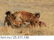Купить «Spotted hyaena (Crocuta crocuta) pair squabbling over carcass, Okavango delta, Botswana, July», фото № 25311146, снято 24 июня 2019 г. (c) Nature Picture Library / Фотобанк Лори