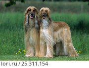 Купить «Domestic dog, Afghan Hound / Tazy / Baluchi Hound, two standing together», фото № 25311154, снято 16 июля 2018 г. (c) Nature Picture Library / Фотобанк Лори