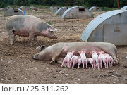 Купить «Free-range Domestic pig (Sus scrofa domestica) piglets suckling from sow, Norfolk, UK», фото № 25311262, снято 26 сентября 2018 г. (c) Nature Picture Library / Фотобанк Лори