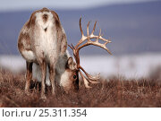 Купить «Caribou /Reindeer (Rangifer tarandus) rear view, grazing, Kamchatka, Far east Russia, April», фото № 25311354, снято 23 июля 2019 г. (c) Nature Picture Library / Фотобанк Лори