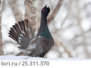 Купить «Capercaillie (Tetrao urogallus) male displaying and calling at lek, Kamchatka, Far east Russia, May», фото № 25311370, снято 26 июня 2019 г. (c) Nature Picture Library / Фотобанк Лори