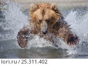 Купить «Kamchatka Brown bear (Ursus arctos beringianus)  leaping through water to catch salmon in river, Kamchatka, Far east Russia, August», фото № 25311402, снято 21 марта 2019 г. (c) Nature Picture Library / Фотобанк Лори