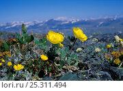 Купить «Alpine meadow with Alpine poppy (Papaver alpinus cf. altaicus) flowering, S Altai Region (plateau Ukok at the border between Russia and China, 4000m), Russsia, June», фото № 25311494, снято 21 июня 2018 г. (c) Nature Picture Library / Фотобанк Лори