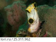 Купить «Three hole tunicate / sea squirt / ascidian (Polycarpa aurata). North Raja Ampat, West Papua, Indonesia.», фото № 25311962, снято 19 августа 2018 г. (c) Nature Picture Library / Фотобанк Лори