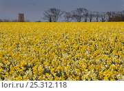 Купить «RF- Field of Daffodils (Narcissus sp) grown for the commercial market, Happisburgh, Norfolk, UK, March.», фото № 25312118, снято 26 мая 2019 г. (c) Nature Picture Library / Фотобанк Лори