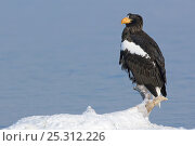 Купить «Steller's sea eagle (Haliaeetus pelagicus) perched on branch beside Lake Kuril, Kamchatka, Far East Russia, January», фото № 25312226, снято 18 октября 2019 г. (c) Nature Picture Library / Фотобанк Лори