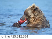 Купить «Kamchatka Brown bear (Ursus arctos beringianus) feeding on salmon in river, Kamchatka, Far east Russia, August», фото № 25312354, снято 16 июня 2019 г. (c) Nature Picture Library / Фотобанк Лори