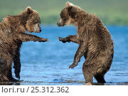 Купить «Two Kamchatka Brown bears (Ursus arctos beringianus)  squabbling beside river, Kamchatka, Far east Russia, July», фото № 25312362, снято 19 августа 2019 г. (c) Nature Picture Library / Фотобанк Лори