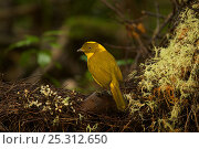 Купить «Newton's Golden Bowerbird (Prionodura newtoniana) male at his bower, a large stick structure decorated with lichens and flowers. Rain forest of the Paluma...», фото № 25312650, снято 17 августа 2018 г. (c) Nature Picture Library / Фотобанк Лори