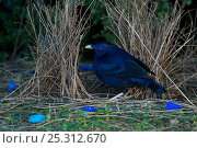 Купить «Satin Bowerbird (Ptilonorhynchus violaceus) male at his bower, which is decorated with many blue plastic items. Lamington National Park, Queensland, Australia...», фото № 25312670, снято 19 июля 2018 г. (c) Nature Picture Library / Фотобанк Лори
