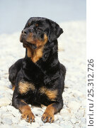 Domestic dog, Rottweiler, on pepple beach. Стоковое фото, фотограф Yves Lanceau / Nature Picture Library / Фотобанк Лори